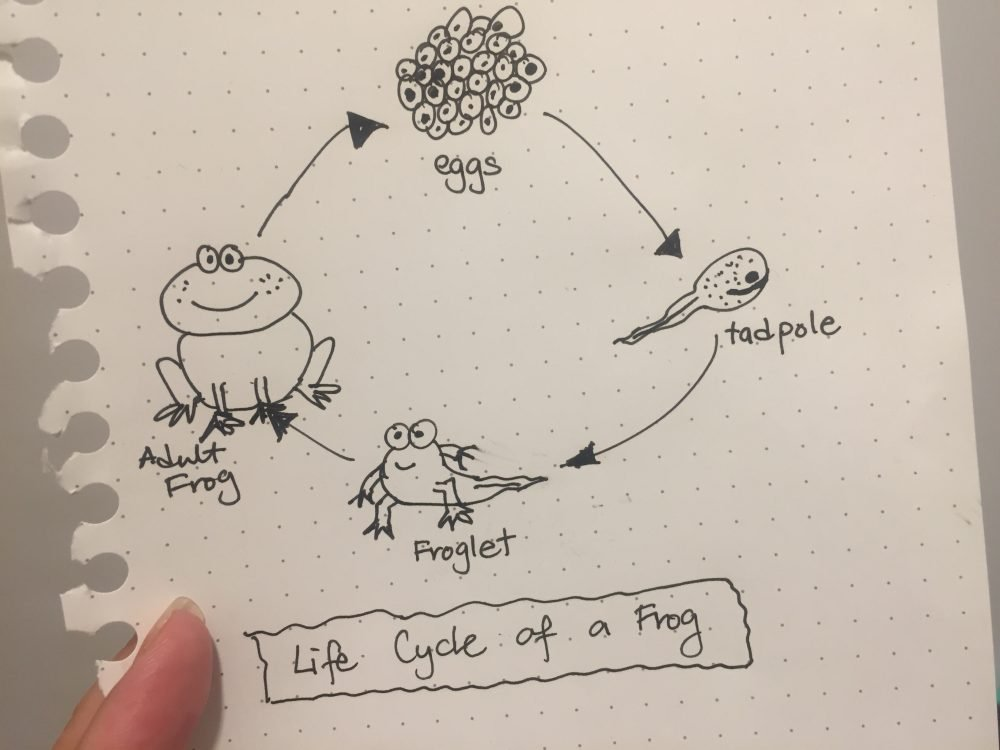illustration of a life cycle of a frog